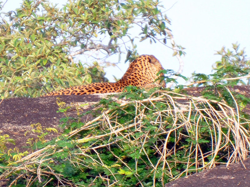 visitar el parque nacional de yala - thewotme yala sri lanka leopard leopardo chena huts 800x600 - visitar el Parque Nacional de Yala en Sri Lanka